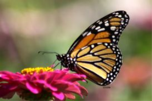 Monarch Butterfly In The Garden | Photos and Images | Animals