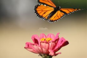 Monarch Butterfly Flying Off | Photos and Images | Animals