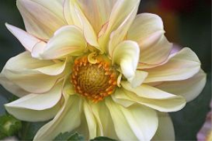 Hints Of Yellow Dahlia Flower | Photos and Images | Botanical