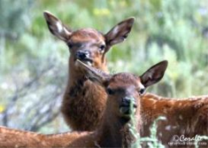 Baby Elk Calves 2 Web | Photos and Images | Animals