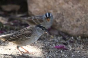 golden crowned sparrow and smaller white crowned sparrow bird | Photos and Images | Animals