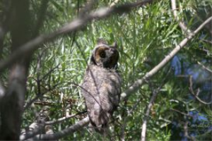 Wild Long Eared Owl -web | Photos and Images | Animals