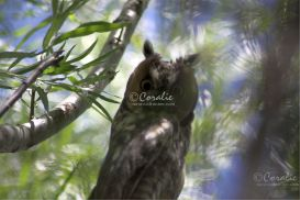 Long Eared Owl Looking At Us - web | Photos and Images | Animals