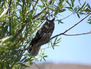 Long Eared Owl  web   Photos and Images   Animals