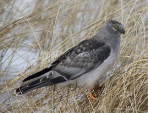 Young Northern Harrier Bird Of Prey | Photos and Images | Animals