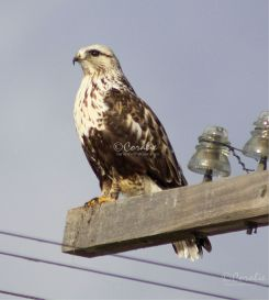 Rough-legged Hawk Web | Photos and Images | Animals