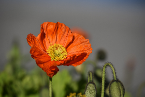 poppy-1330450_1920 | Photos and Images | General