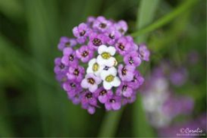 Alyssum Flower Blooms Web | Photos and Images | Botanical