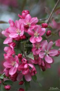 Red Pink Apple Blossoms Web | Photos and Images | Botanical