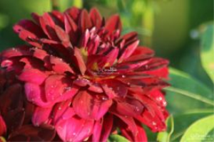 Arabian Night Dahlia Flower Bloom 2 Web   Photos and Images   Botanical