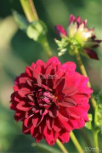 Arabian Night Dahlia Flower Bloom Web | Photos and Images | Botanical