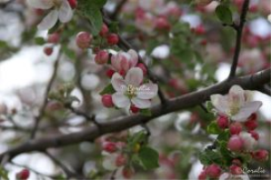 apple tree bossoms flower web | Photos and Images | Botanical