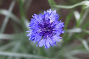 Blue Bachelor Button flower | Photos and Images | Botanical