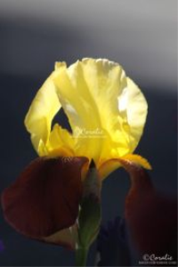 Yellow Maroon Iris Flower Web | Photos and Images | Botanical