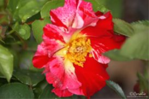 Beautiful Rose Flower Bloom Web | Photos and Images | Botanical