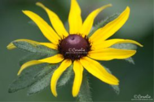 Black Eyed Susan Daisy Flower Web | Photos and Images | Botanical