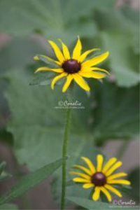 Two Black Eyed Susan Flower Blooms Web | Photos and Images | Botanical