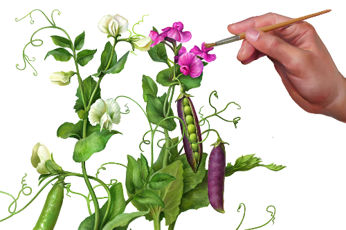 First Additional product image for - Pea Plants. Botanic illustrations