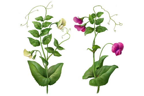 Second Additional product image for - Pea Plants. Botanic illustrations
