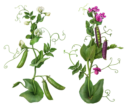 Third Additional product image for - Pea Plants. Botanic illustrations