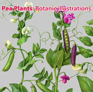 pea plants. botanic illustrations