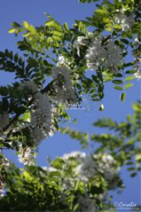 Black Locust Tree in Bloom Web | Photos and Images | Botanical