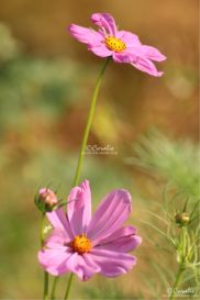 the cosmos flowers web | Photos and Images | Botanical