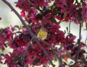 Nashville Warbler Bird Web | Photos and Images | Animals