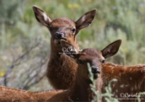 Baby Elk Calves Web | Photos and Images | Animals