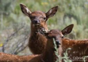 baby elk calves web