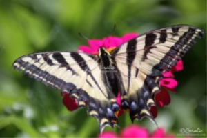 Yellow Swallowtail Butterfly on a Zinnia Flower Web | Photos and Images | Animals