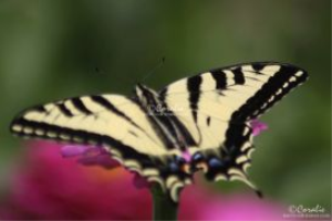 Swallowtail Butterfly on the Zinnia Flower Web | Photos and Images | Animals