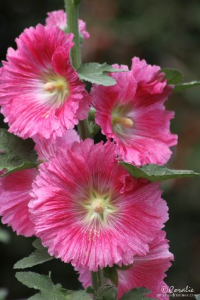 dark pink hollyhock flowers web