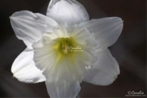 Daffodil Flower In White Web | Photos and Images | Botanical