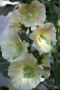 Light Colors of The Hollyhock Flowers Web | Photos and Images | Botanical
