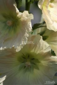 light peach colored hollyhock flowers web
