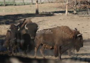 Buffalo | Photos and Images | Animals