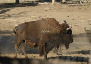 Bison Buffalo Bull | Photos and Images | Animals