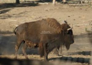 bison buffalo bull