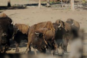 Herd of Bison Buffalo In The West | Photos and Images | Animals
