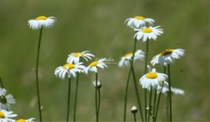 cascade daisy flowers | Photos and Images | Botanical