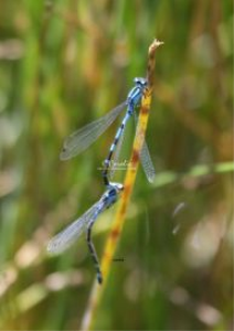 common blue damselfly dragonfly