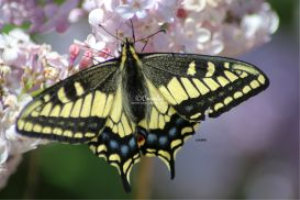 yellow black swallowtail butterfly 027