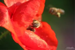 two honeybees and poppy flower web