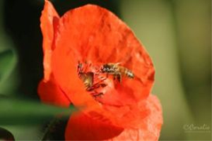 honeybee pollinating red poppy flower series 096 web
