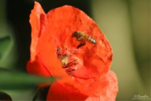 honeybee pollinating red poppy flower 091 series web
