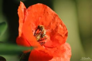 honeybee pollinating red poppy flower 083 web