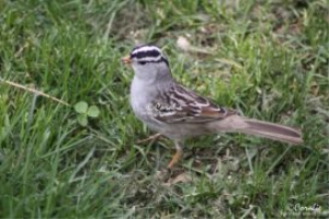 white stripes of the white crowned sparrow web