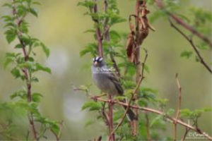 white crowned sparrow bird 2 web