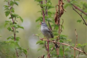 white crowned sparrow bird 1 web